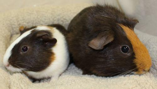This week as our small animal room is bursting at the seams we highlight two of our special residents.  Doug and Skeeter are 2 baby male guinea pigs who are the best of friends!  Guinea pigs love the company of a friend and these two are looking for a home that will love both of them.