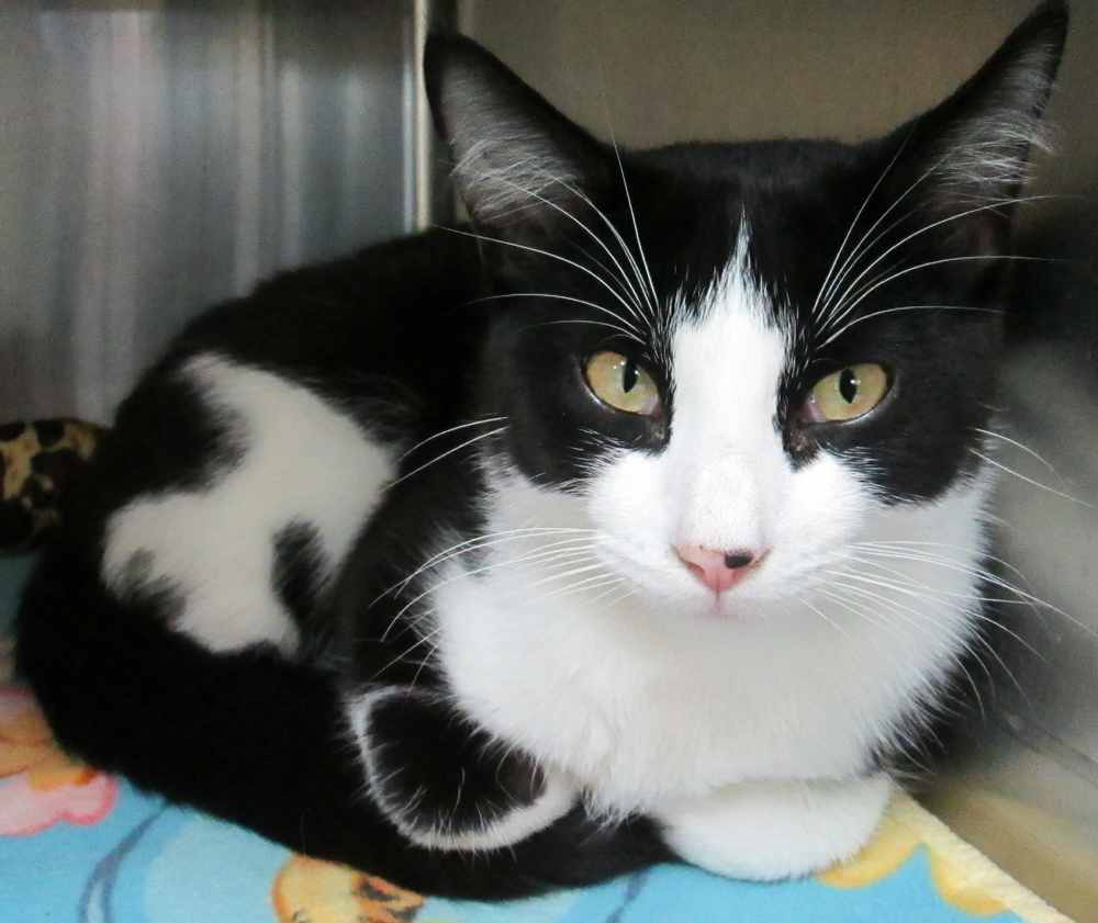 "Oscar   is a  10 month old  shorthair.  He is full of energy and loves to have conversations with anyone who will listen. He is a pretty ""cool cat"" and would love to find his fur-ever home."