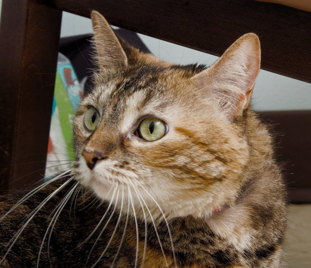 Gizzy is a senior gal who is looking to spend the best years of her life with you! She is beautiful 12-year-old brown tabby with striking green eyes. She is looking for a home that preferably doesn't have a dog since she doesn't get along with them well.