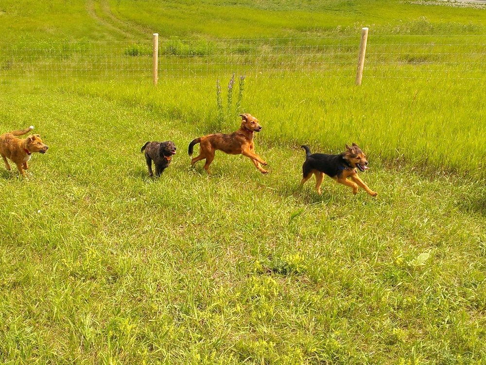 Littermates Tripp, Oliver, Lily and Barley enjoy a good run at the Dog Exercise area in Mukwonago, Wisconsin.