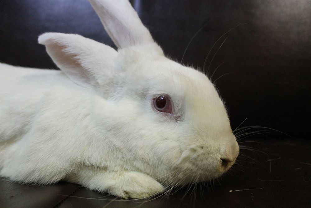 Harvey is an adult neutered male bunny. He is a very sweet and gentle. He lived with two cats in the previous home and got along well with them.