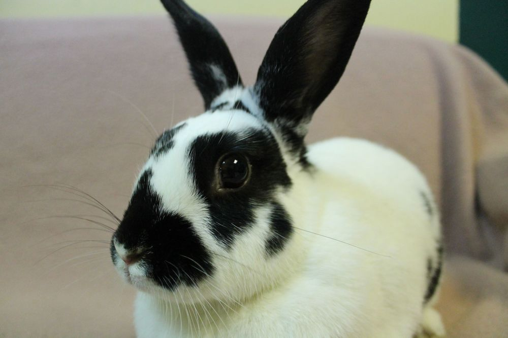 Aniston is a Rex Bunny. She is a very sweet and affectionate girl. Here at the shelter she loves to play in her x-pen. She also likes cats--she has even spent time snuggling with HAWS' newest staff member Toby the cat!