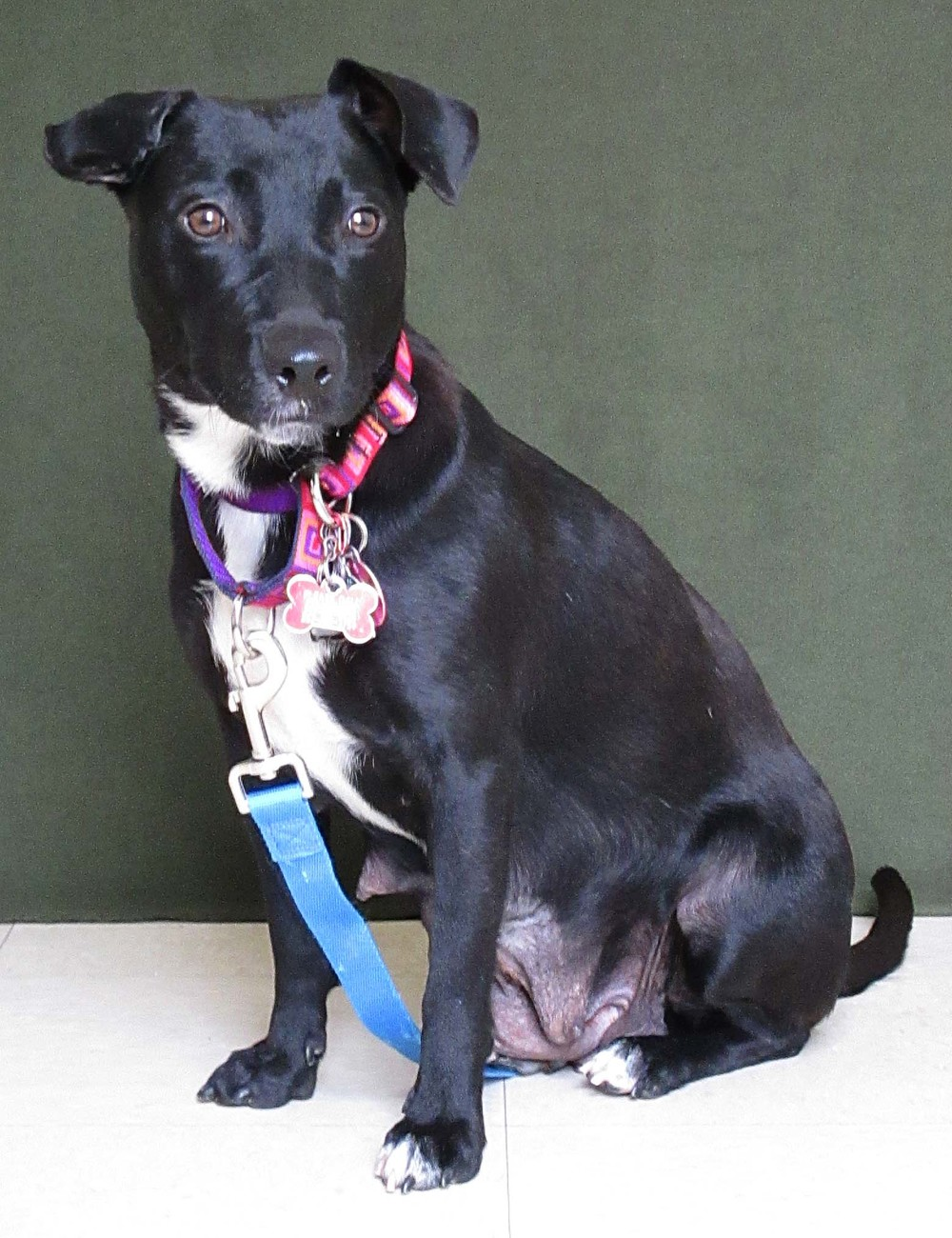 Kia is a 3 year old lab mix. She is sensitive to new people and handling so she would do well in a home with older children. She is very prey driven, so she can not go to a home with a cat. She is good with other dogs. Once she bonds to someone, she is very affectionate and loving.