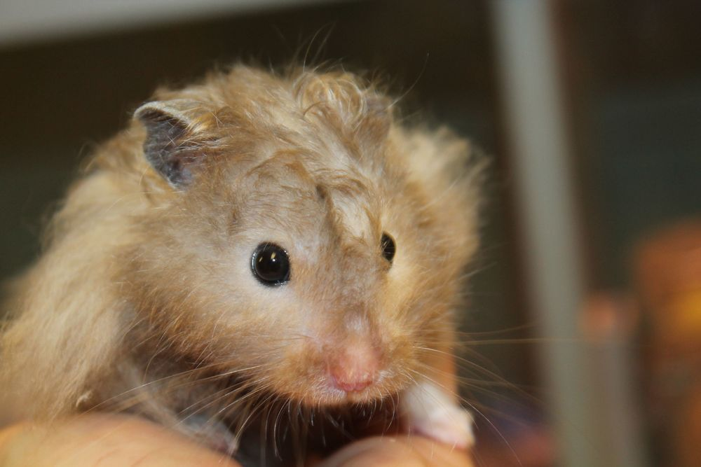 Pancho is a 1-year-old Syrian Hamster. He is a very nice little fellow with wild fluffy hair! He is easily handled but prefers not to be woken up during the daytime. He is active during the night time hours because he is nocturnal, so keeping him in a bedroom would not be a good idea.