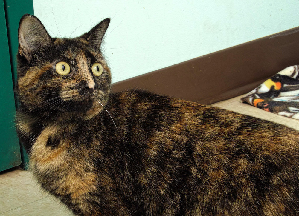 Tinky is a beautiful Tortoise shell, just shy of 2 years old. She LOVES to play with her toys and watch the birds. After she is done playing she would love to snuggle with you.