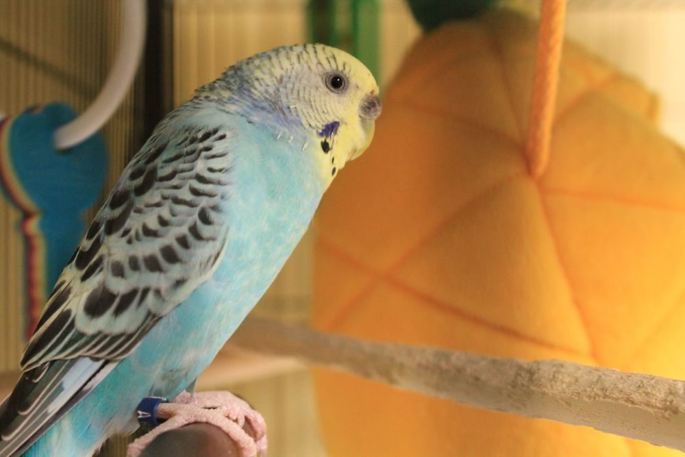 Blue is a male Parakeet. He would prefer a quieter home as he was stressed by the dogs in his previous home. However, he will make a wonderful feathered companion! He will fill your home with pretty little chirps and chatters which will cheer you up and make you smile every day!