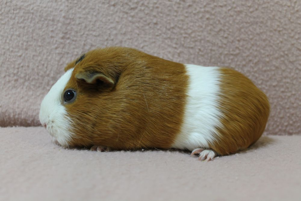 Princess is a 4 year old Guinea Pig. She is a very sweet and inquisitive little girl. Princess is missing one of her feet, but that does not cause a problem. Gentle loving pets and napping in a nice warm lap are her favorite things to do!
