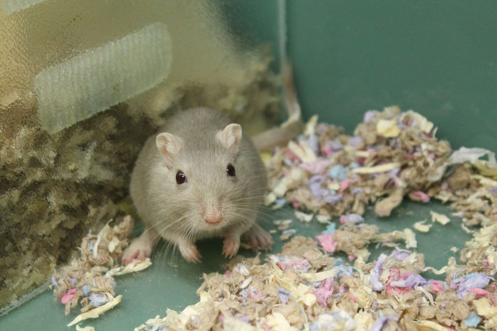 Jordan is a nice little gerbil who loves to dig around in his deep bedding making tunnels and comfy places to sleep! He loves wood chews, cardboard tubes and small boxes that he chews up and shreds! He also loves jogging in his wheel for long distances!