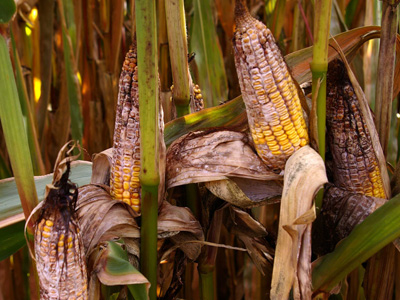 Aflatoxins are known to cause acute toxic illness and cancer in animals and humans, and are considered among the most carcinogenic substances on the planet. Cats and dogs are more sensitive to aflatoxins than many other animals. Aflatoxins are noxious metabolites produced by the Aspergillus flavus and Aspergillus parasiticus fungi, and are the most extensively researched mycotoxins in the world.