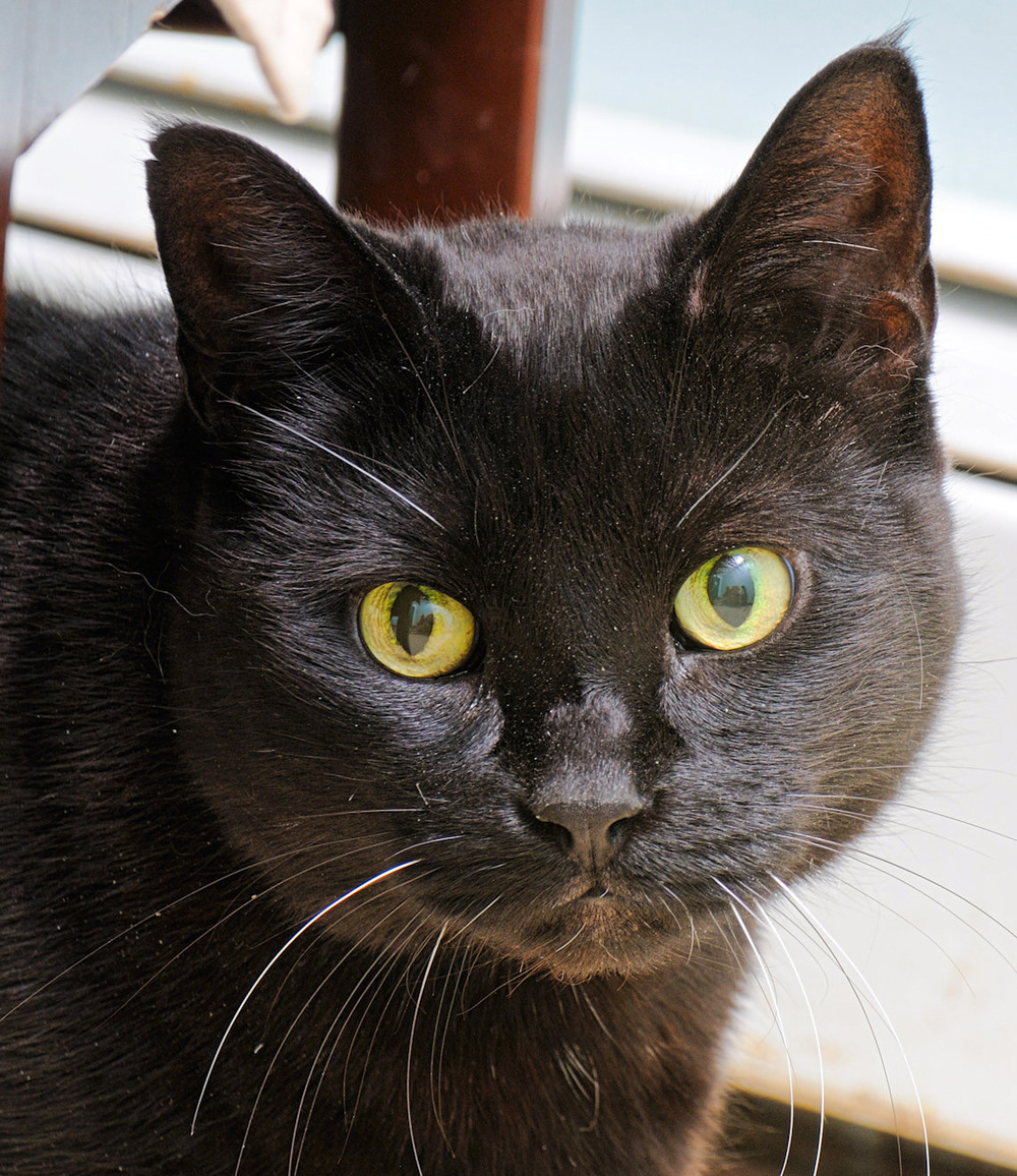 Zel is a beautiful senior gal, she is about 10 years old. She is a very nice quiet cat. Playing with her stuffed mice and laying on top of sofa looking out the window are a few of her favorite things to do!