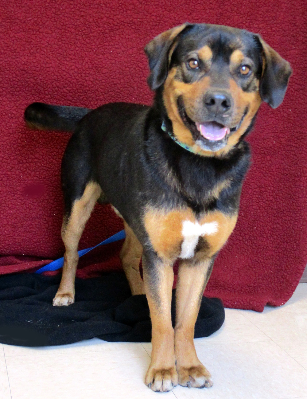 Hercules is a 3 year old Rottweiler Mix.  He likes to play, especially with toys. This boy also loves to snuggle--he thinks he is a lap dog. You may even get a smile out of him!  He will submissively grin when he is really happy!