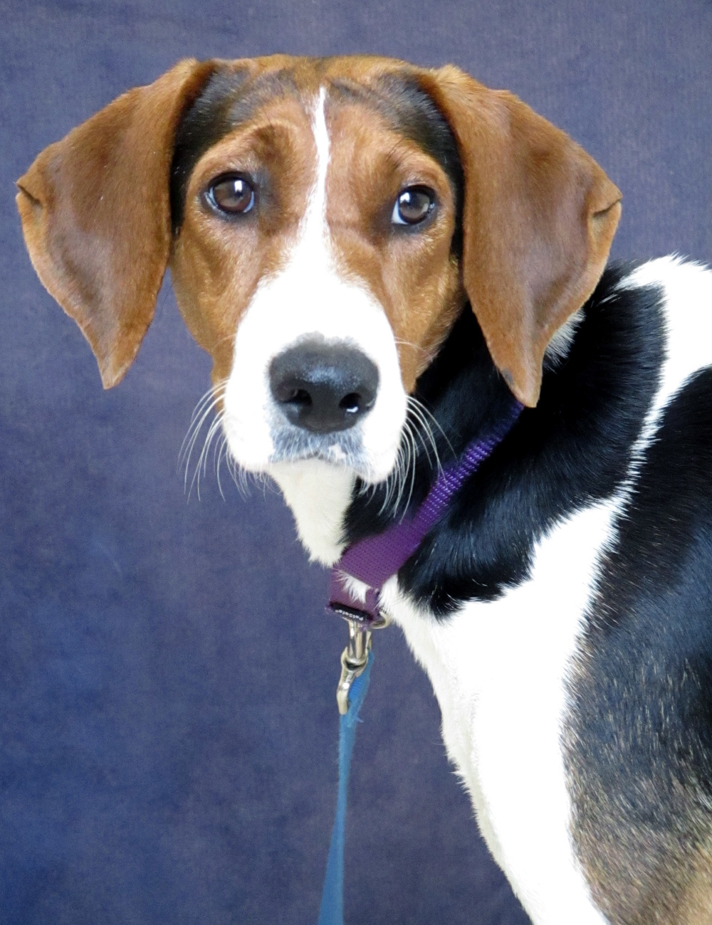 Lulu is a 1 year old Hound Mix from Alabama.  She is not real sure of her new surroundings. With that being said she is looking for a home with no cats and potentially a small, quiet dog. Lulu love to be outside, she has her nose to the ground the entire time.