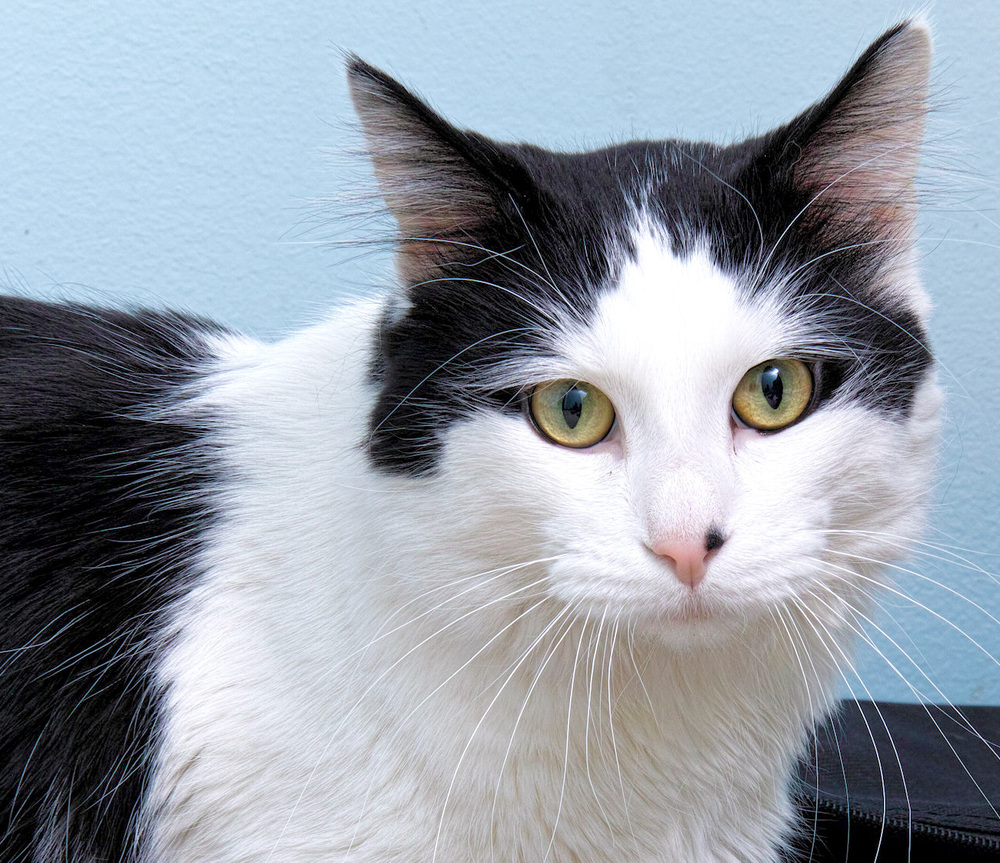 Oreo is five years young!  He has many years of happiness to bring to the family that adopts him. He is very people oriented and loves to sit on laps and snuggle with his humans. He enjoys a good brushing with a soft brush. He has beautiful long hair which should be kept clean and neat. Even though he loves to be with be people he can amuse himself if you are busy.
