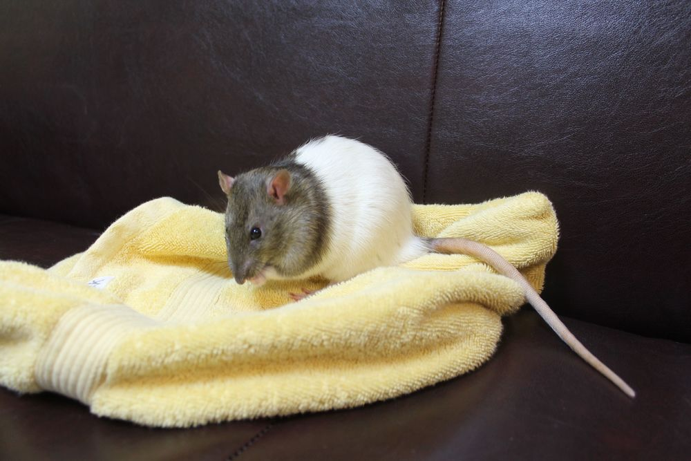 Pichu is a young male Hooded Rat and is a very nice little guy. Pichu tends to be a little sensitive so he will need a gentle new human companion who will help him mature into a confident adult. He loves head and ear massages and snuggling in his cozy sack.