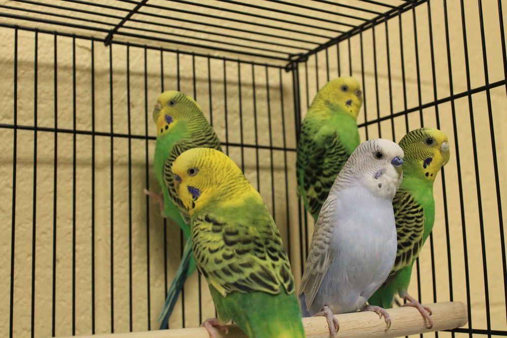 Marachute, Scuttle, Iago, Zazu & Archimedes are a flock of parakeets in need of new homes! They can be adopted as a group or in pairs or trios. No single adoptions, please--they would be very lonely if they had to live alone!