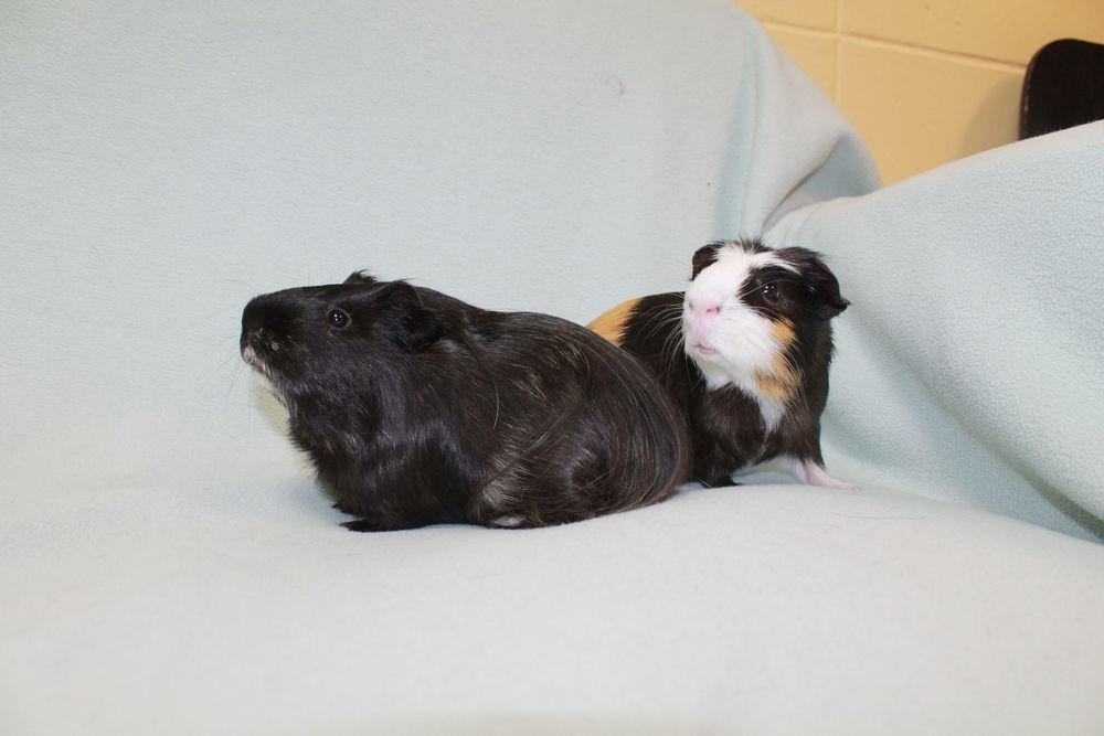 Stripe and Buddy are sweet pair of boys looking for their forever home. They have lived together their whole life so they must be adopted together. You will have twice the fun with them in your home!