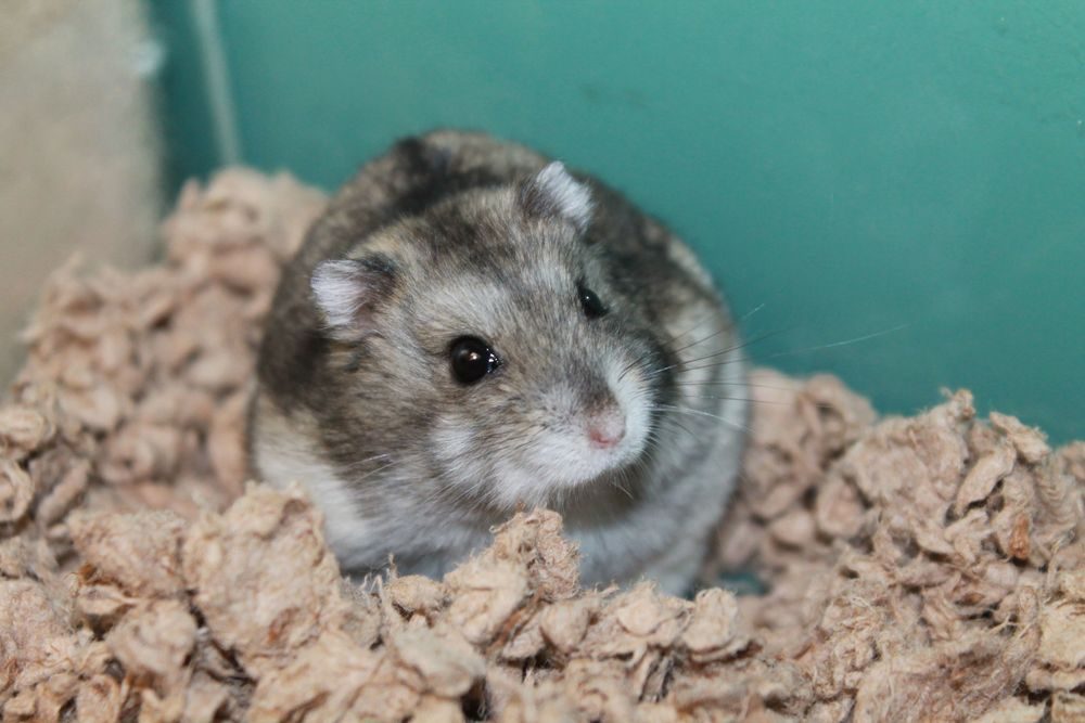 Tango is a Campbell's Russian Dwarf Hamster. He is pretty much on the move all the time. He can be difficult to handle but with time and patience he might learn to enjoy it!