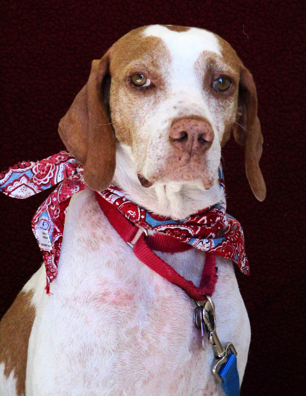 Stella is a sweet 2-year-old Pointer Mix. She is very timid and takes a little while to warm up to people so small children are not recommended. She would not do well in a home with a cat, but may be okay with a smaller, quiet dog. Stella is a sweet girl but likes her independence.