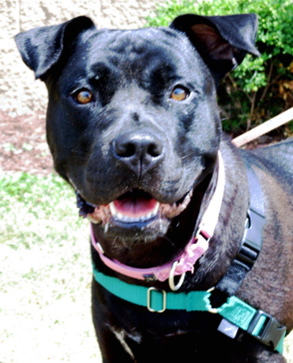 Bella is a gentle giant. She is a 2.5 yr old Mastiff mix. She loves to play with toys and most other dogs but cats are not her thing.  If there are children in the home we recommend that they be older since Bella is a larger gal. Stop in and see this sweet girl today!