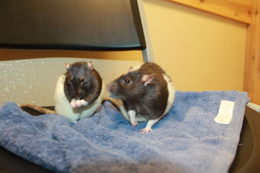 Delphine and Clemence are a bonded pair of sisters who must be adopted together. They love hanging out and playing with one another other. They are very friendly and also enjoy being with human friends. These girls are loads of fun!