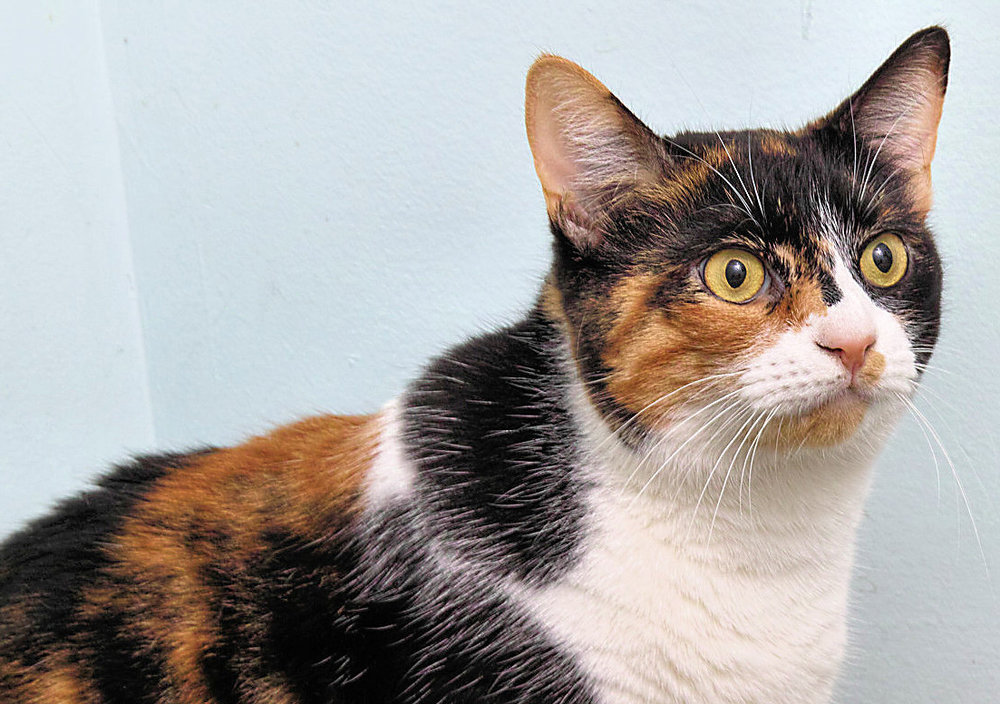 Sophie is a beautiful 2 year old Calico. She made her way to HAWS all the way from Alabama! She has had lots of changes in her life in the past couple of months. We can tell that she is not a fan of being picked up and would prefer that you would played with her toys instead.