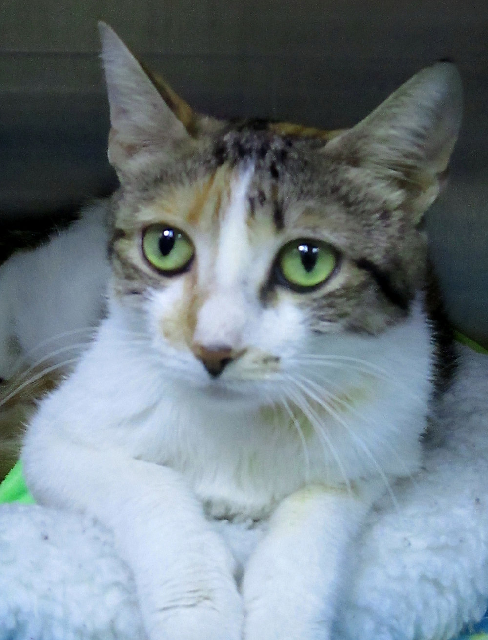 Josephina is a beautiful, sweet young lady. She came to us as a stray with three kittens.  All of her babies have found a home and now it is her turn! We estimate her age to be approximately one year old.  If you are looking for a loving cat, she is your gal.