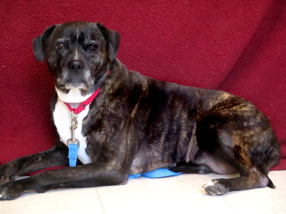 Frank is a 10 year old pit mix. He came to HAWS as a stray. He is a gentle giant! He LOVES to play with tennis balls, play tug, or just about any toy you give him. However, he is not fond of cats, but may tolerate another dog. If you are looking for a stellar senior pet, he is your guy!