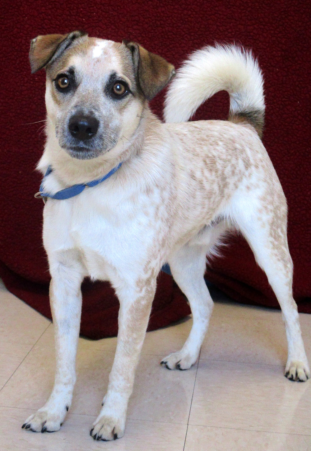 Hank is a 11 month old Blue Heeler/Border Collie mix. He is a highly intelligent boy that needs a family that is very active and will expend his energy. Hank loves to play with his toys and is very food motivated. He will do just about anything for a treat, so positive reinforcement comes easy to him.