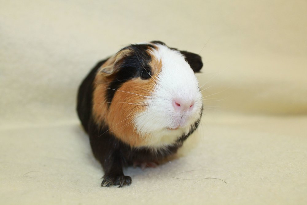 As in her name, this is Ms. Piggy and she a sweet little Guinea Pig. She is a fun little girl!  She enjoys exploring and being cuddled by her human companions. When she is snuggling she makes cute little piggy noises!