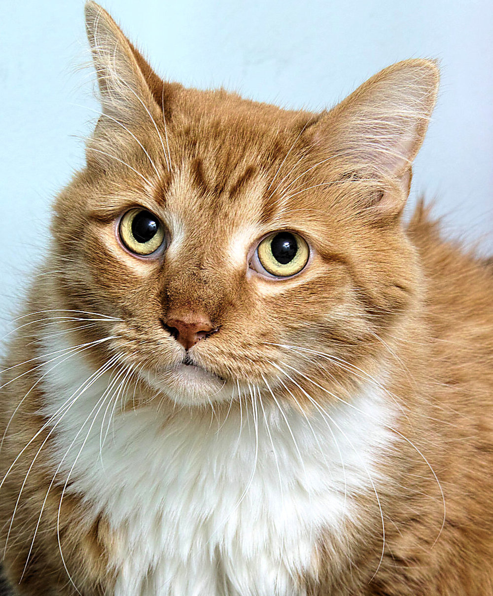 Kitty is one of our older guys, he is 8 years young. He is an elegant, mature cat more reserved than outgoing. Kitty will come to people on his terms. He does enjoy being petted, but we believe he would do best in a quieter home without children.