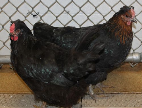 Henny and Penny are a pair of chickens looking for a place to roost. They were found as strays and brought to HAWS. If you or anyone you know is looking to add a few nice chickens to your flock please stop in and see them today!
