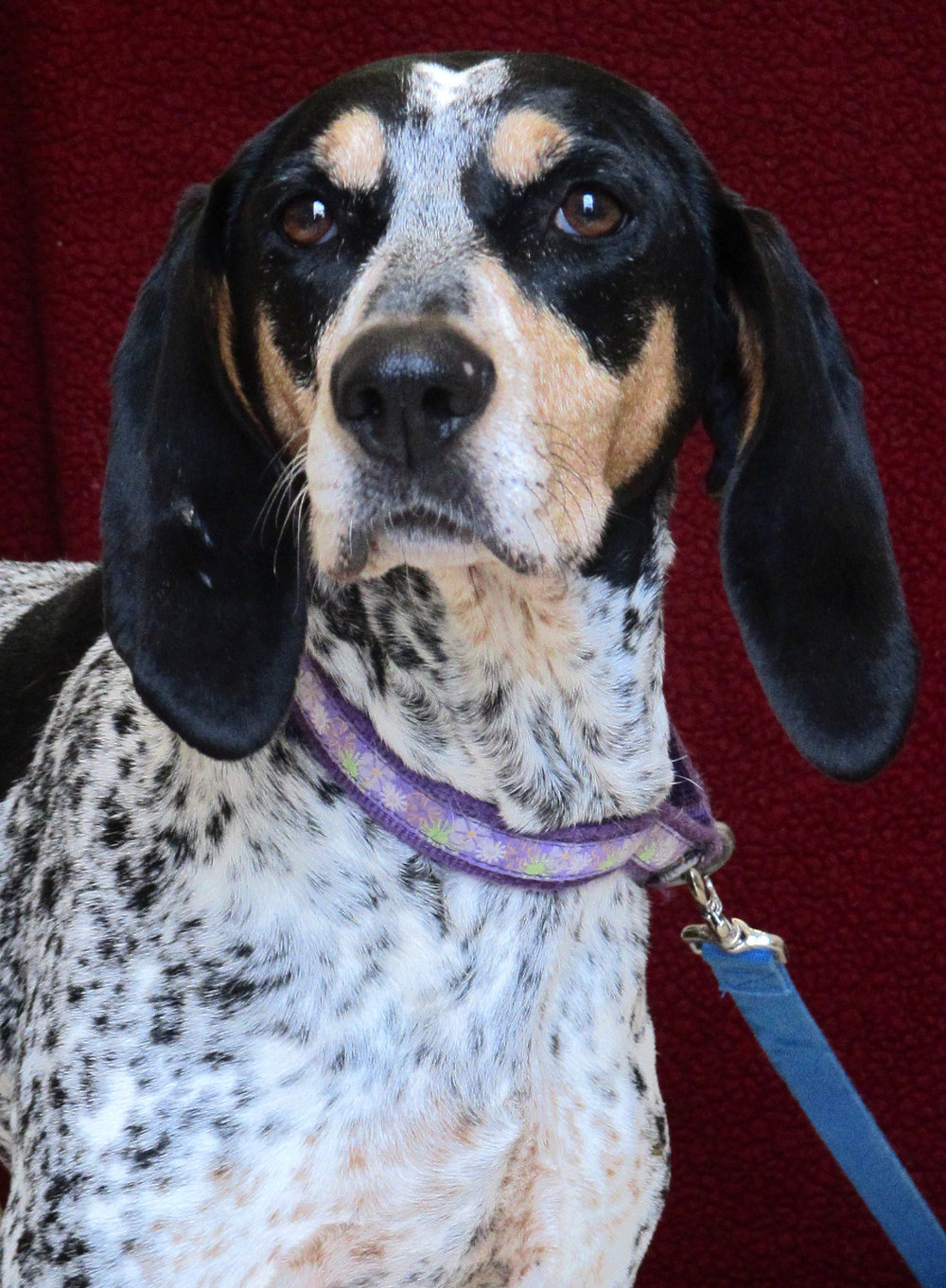 Gladys is a sweet 8-year-old Bluetick Coonhound who has been at HAWS since the end of August. She is looking for a family where she would be your one and only pet! However, she seems to really enjoy being around children and is gentle and very appropriate while on leash.