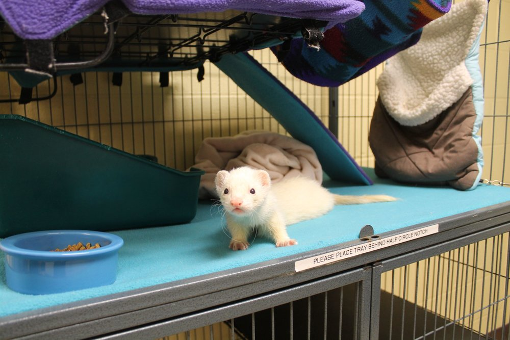 Slink is a wonderful boy that was a stray before coming to HAWS. He is a real character--he will have you laughing all day long. He constantly seeks out human attention and seems to be lonely without another ferret friend to scamper about and play with.