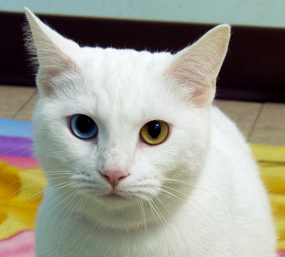 Ginger is 2 years old. She is beautiful solid white with striking eyes! Her ideal home would have many windows for her to watch the birds. She is a friendly young girl. She doesn't mind petting or sitting on a lap every now and then; however, she would prefer to explore her surroundings. Ginger is eagerly waiting to go home with you!