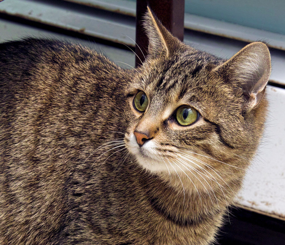 Marge came to HAWS as a stray. We believe she is a young gal approximately a year and a half old. She is a sweet girl and is very interactive!  She also enjoys relaxing on your lap while she is being petted.