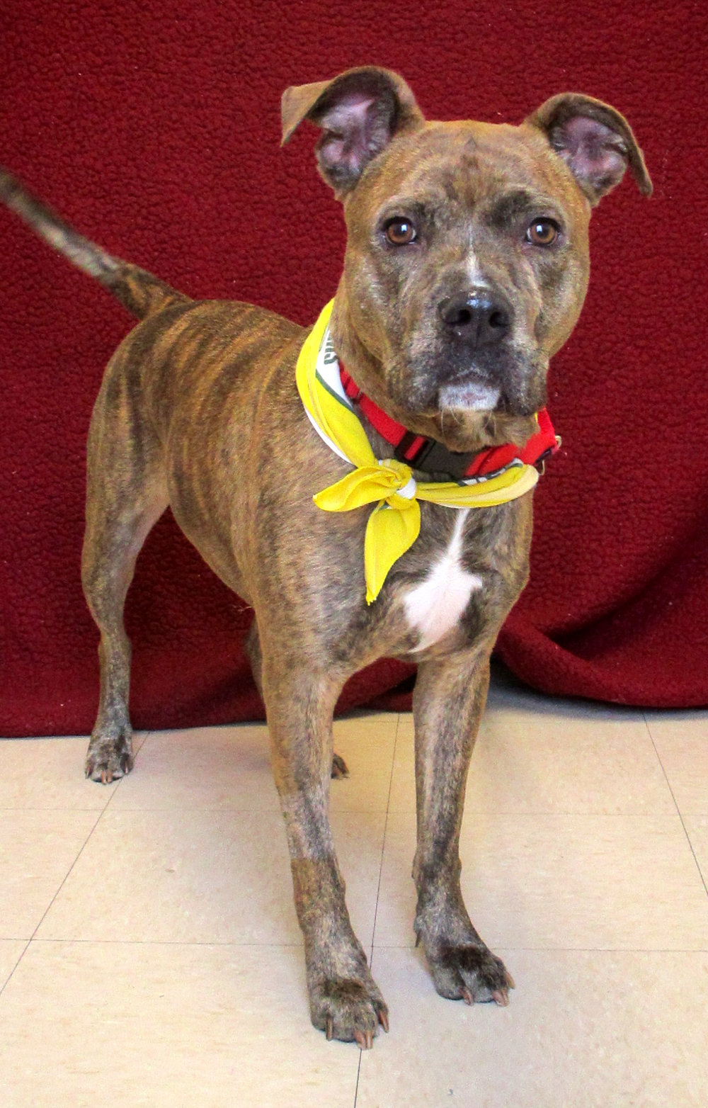 Paco is a sweet, loving, silly 2-year-old Pit Bull mix. He has beautiful brindle markings and has the personality to match.  Meeting new people can be a little overwhelming for him, so a home that will take it slow and help him realize that people are great would be the best for him.