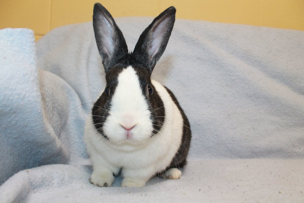 Lamont is a very cute Dutch rabbit. He is a bit overweight and is on a weight loss program with a healthy diet and lots of exercise! That means he will need to have lots of room to run and get in his daily amounts of steps!