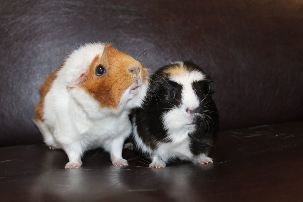 Kali and Peppermint are a sweet and pretty bonded pair of guinea pigs. They love to hang out together and share green leafy salads. Exploring and zooming about their cage is one of their favorite things. Also they like to snuggle in a comfy human lap enjoying loving pets.