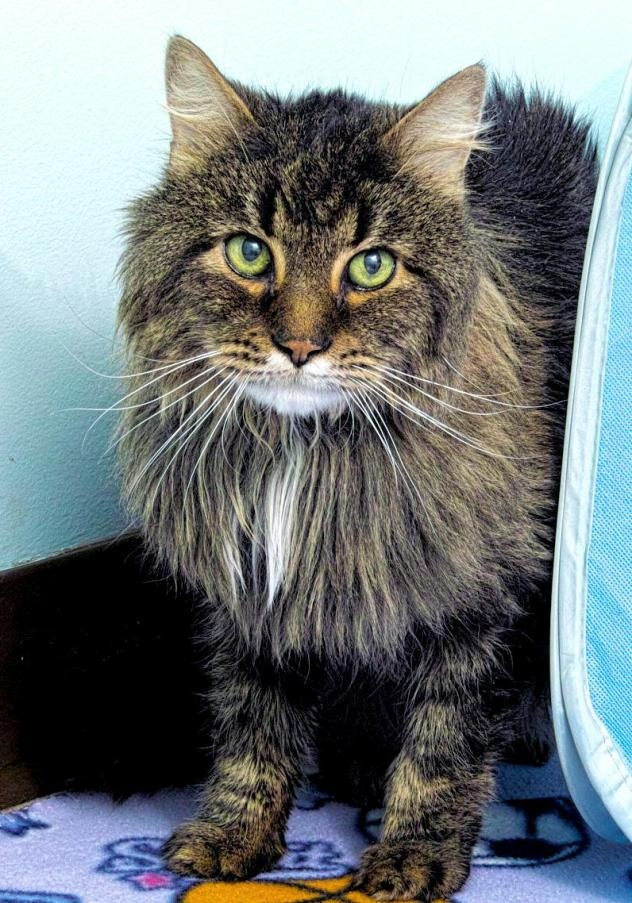 Posten is a handsome 12 year old kitty! He came to HAWS after his owner passed away. He has a very sweet disposition and is looking for his retirement home. Once he warms up to you he would love to sit on your lap and get some snuggle time.