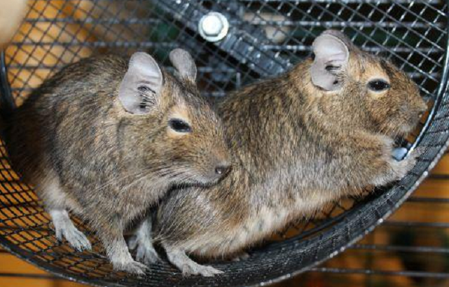 Laverne and Shirley are a mom and daughter pair of little Degus! They are very active and high energy.  They can be handled but they are not very comfortable with it, they prefer to have their freedom. Both of the girls have also been spayed.