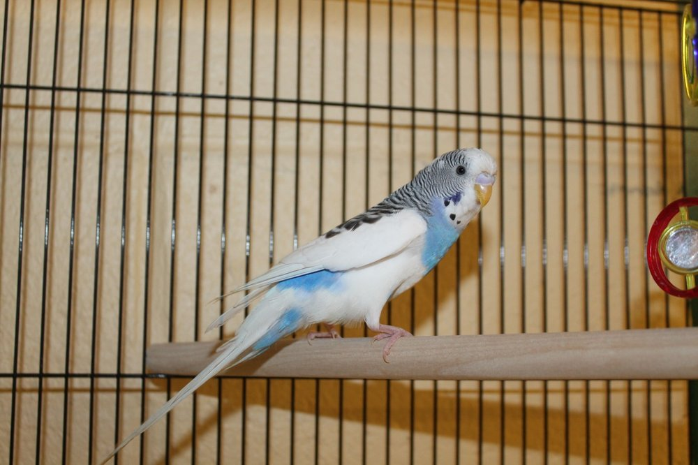 Hi, I'm Moses! I am a fun and perky parakeet. I love playing with toys and chirping. I will make you smile every day. If you have a lonely parakeet who might like a friend come in and ask to meet me. I might like another feathered friend to sing with too.