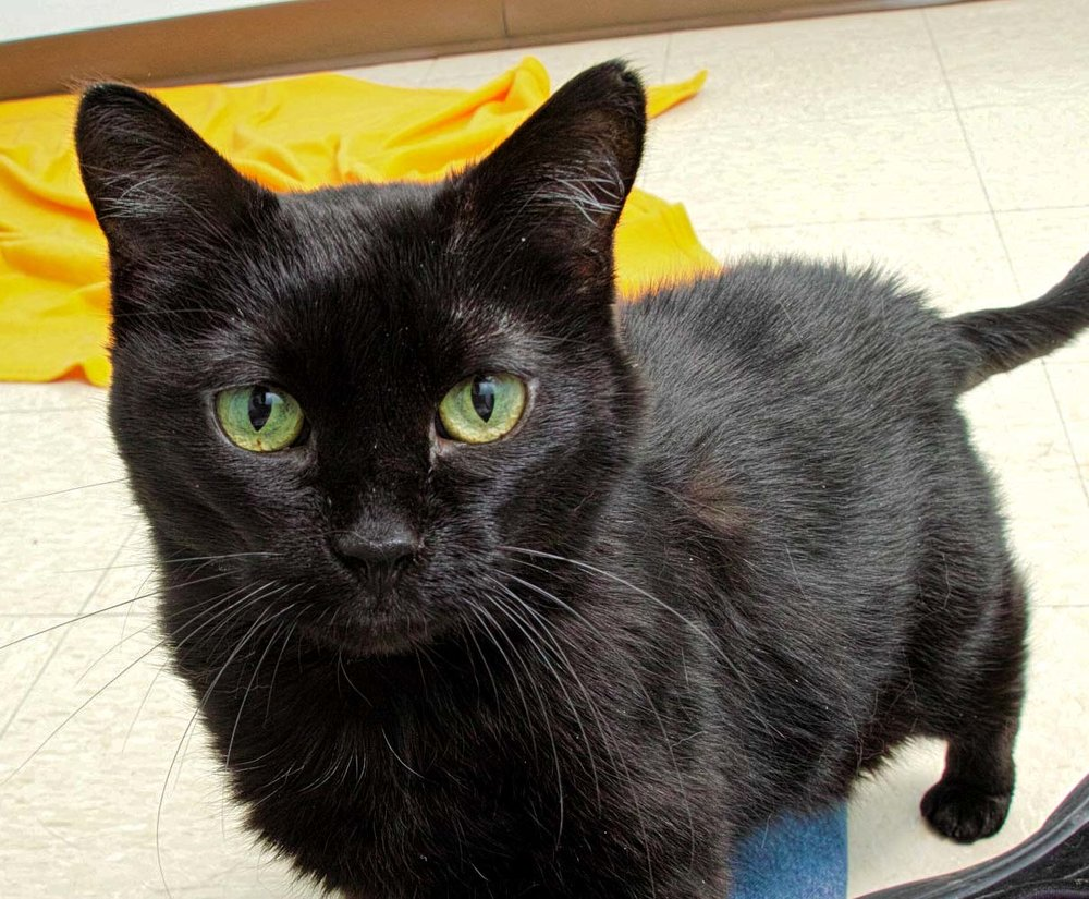 Hey, my name is Elf! I'm a 12 year old kitty that would love to lounge around the house with you. In the past, I have gotten along with babies and dogs. I am overall a healthy and active cat but do need a little special care. Please call to find out more about me, or stop in to meet me!