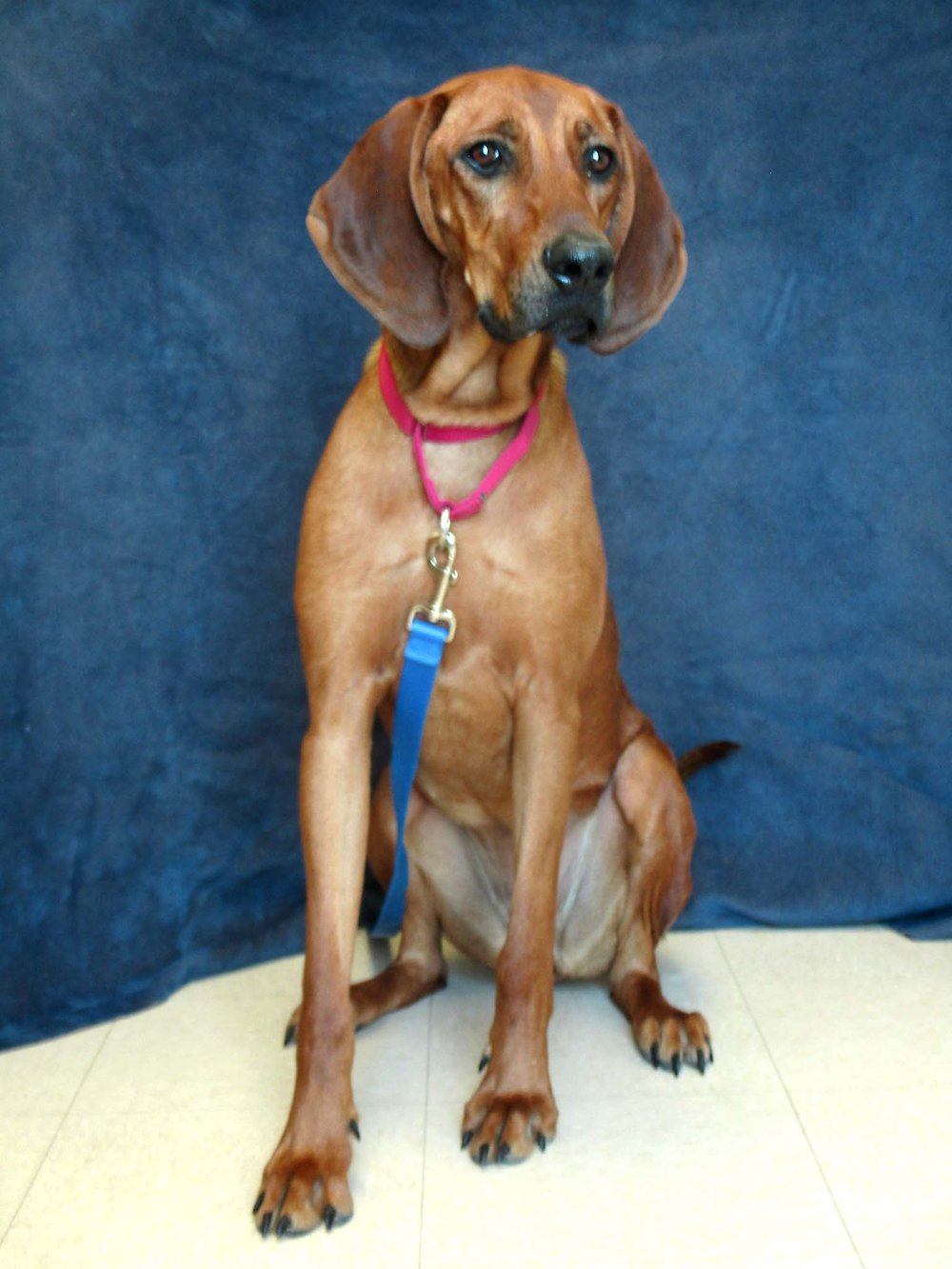 Lady is a 2-year-old Redbone Coonhound that came to HAWS from Alabama. She is an active girl that will need a lot of physical and mental exercise with a family of teens and older. Lady is very playful with other dogs. HAWS is working on her walking with a loose leash. Come meet this social butterfly!