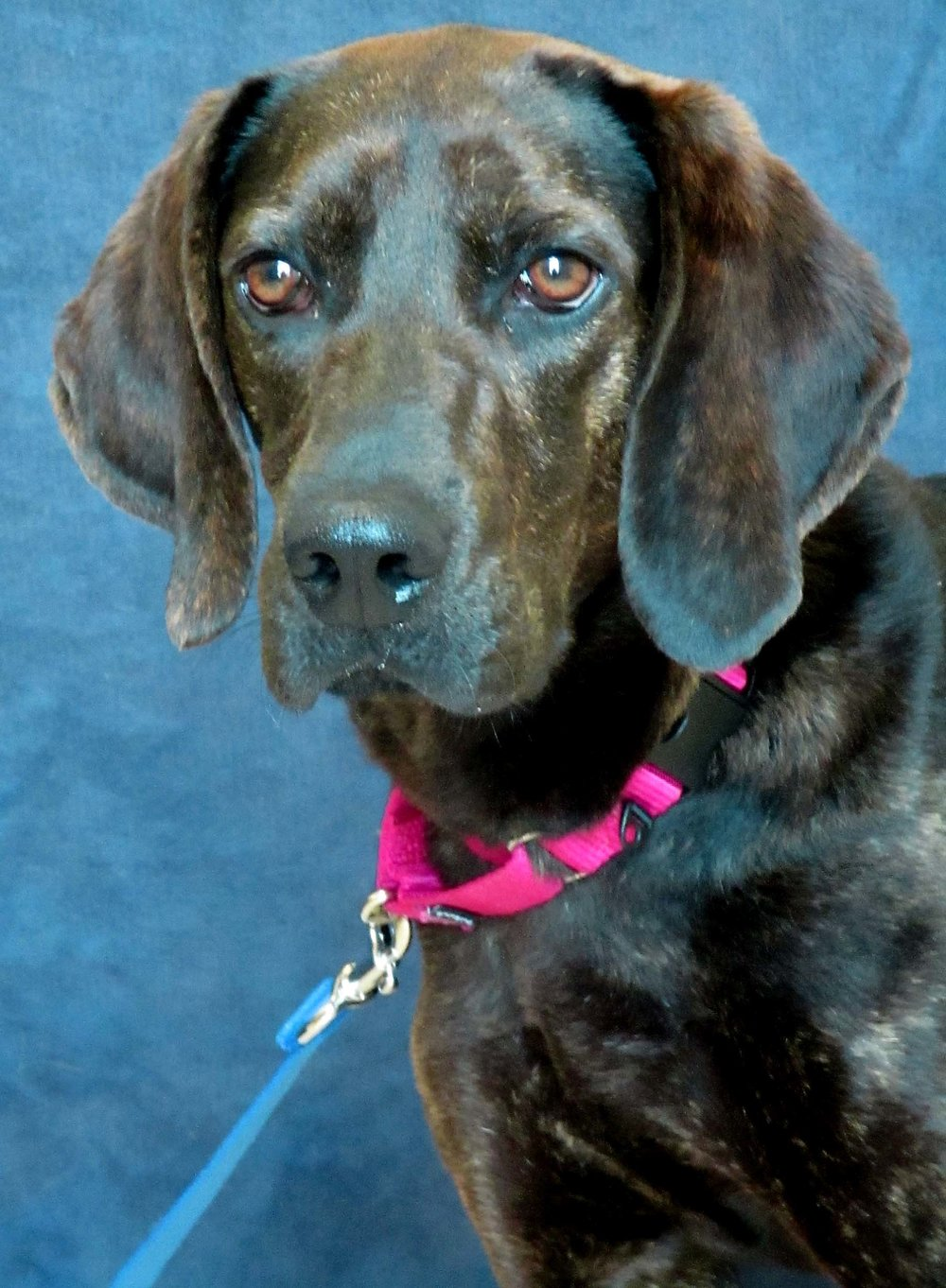 Sabrina is a 1-year-old Plott Hound Mix from Alabama. She can be sensitive to some handling so we are recommending older children. Sabrina may do well with cats and dogs; but she is very forward and interested in both, so confident pets may enjoy her company more. She looks forward to playing with squeaky toys in her new home!