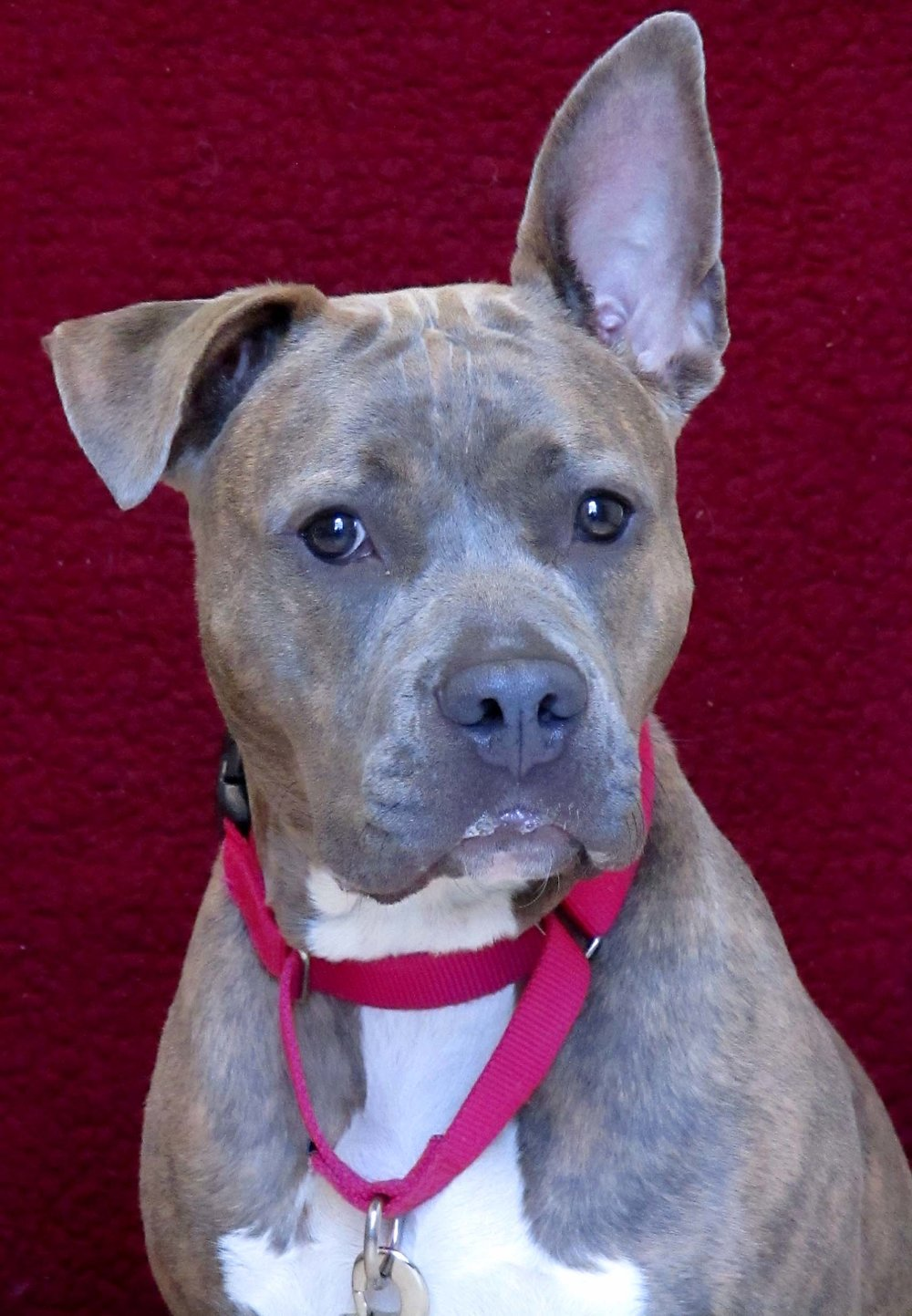 Samantha the 11-month-old Pit Bull Terrier was displaced when her human owners stopped getting along. She is quite playful and engages with people nicely! Samantha would do best in a home where she is the only pet as she doesn't get along with many dogs.