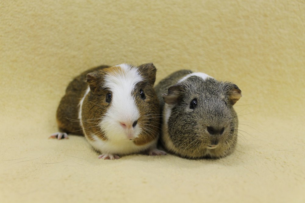"Mack and Tank are approximately 2 years old. Both of these fellas are very sweet! They are waiting for that special someone that will turn their Pinterest into a ""Pigterest"". ;)"