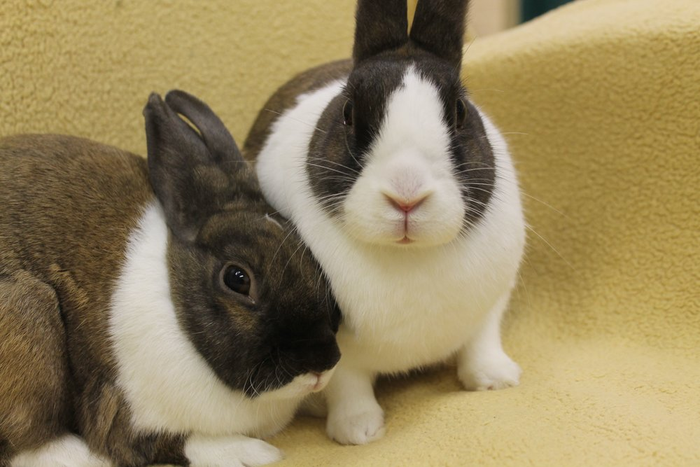 Coco and Walnut are a very sweet and gentle bonded pair of Dutch bunnies. They love to snuggle with each other, eat their green leafy salads together and hang out with their human admirers. They are a joy to have around and will make you smile every day.