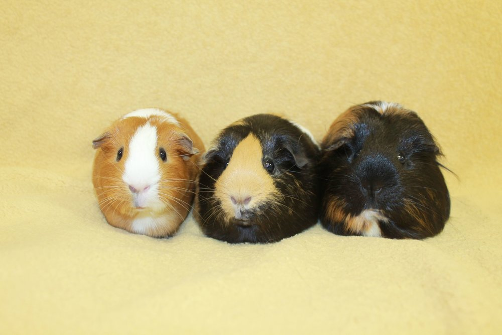 Layla, Savy, and Cuddles are a trio of bonded guinea pigs so they must be adopted together! They are a fun group who love to explore together as a guinea pig caravan during their time out of cage time! They will require a very large habitat in which to live so they each have enough space to hang out.