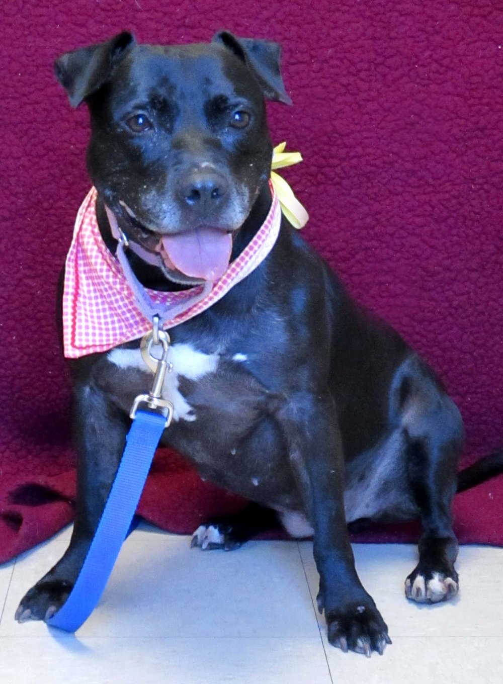 Phoebe is an 8-year-old dog from Florida. HAWS is recommending children 6 and older due to her age and sensitivities to muzzle touch. She is very sweet and settles down nicely after play with toys. If you are looking for an active dog that can be a couch potato, too, come and meet her!