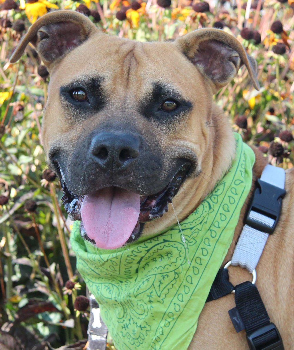 "Denny is a 2-year-old dog that came from Florida. He may do best with children 13 years and older due his high energy, and he can also become mouthy when he's too excited. He is very sweet and affectionate. He will offer you ""Pittie"" smiles on your bad days--and on the good ones too!"